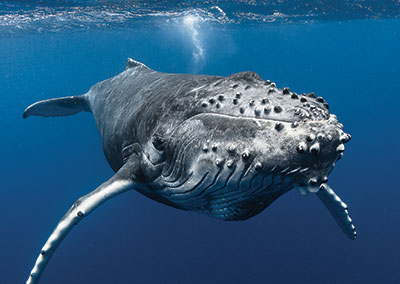 https://tahititourisme.nz/wp-content/uploads/2018/07/sejours-plongees-baleine-e-tahiti-travel-1.jpg