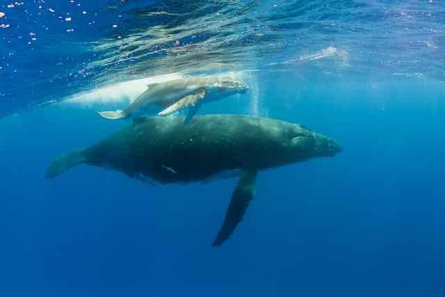 https://tahititourisme.nz/wp-content/uploads/2019/04/Bora-Bora-Humpback-Whales.jpeg