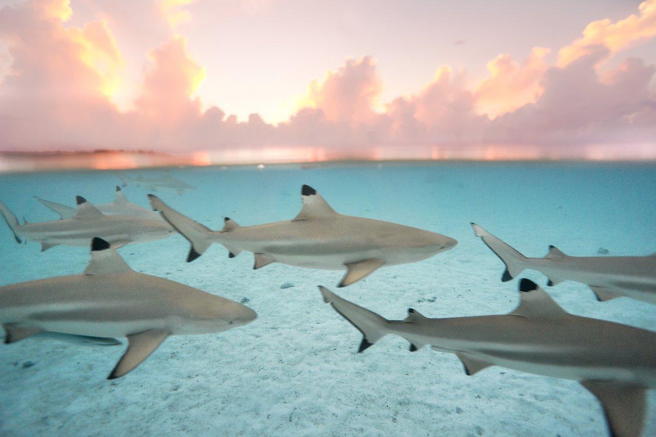 https://tahititourisme.nz/wp-content/uploads/2020/06/blacktip-reef-shark-sunset.jpg