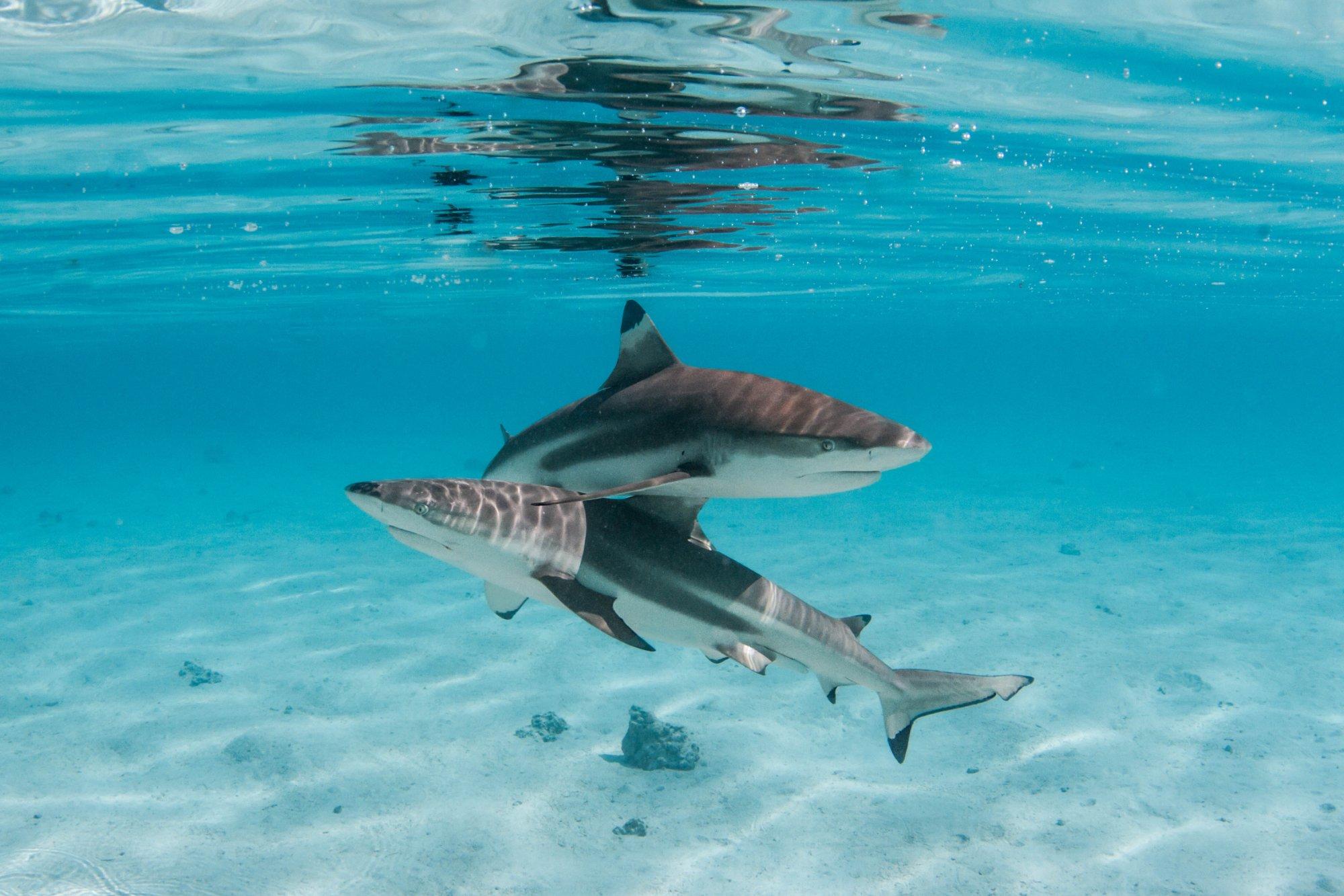 https://tahititourisme.nz/wp-content/uploads/2020/06/deux-magnifiques-requins.jpg
